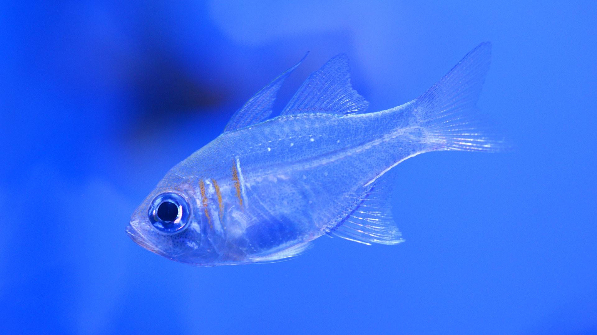Blue-Striped Cardinal Fish