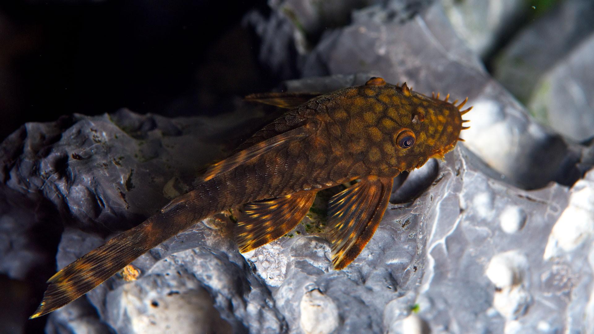 Suckermouth Catfish
