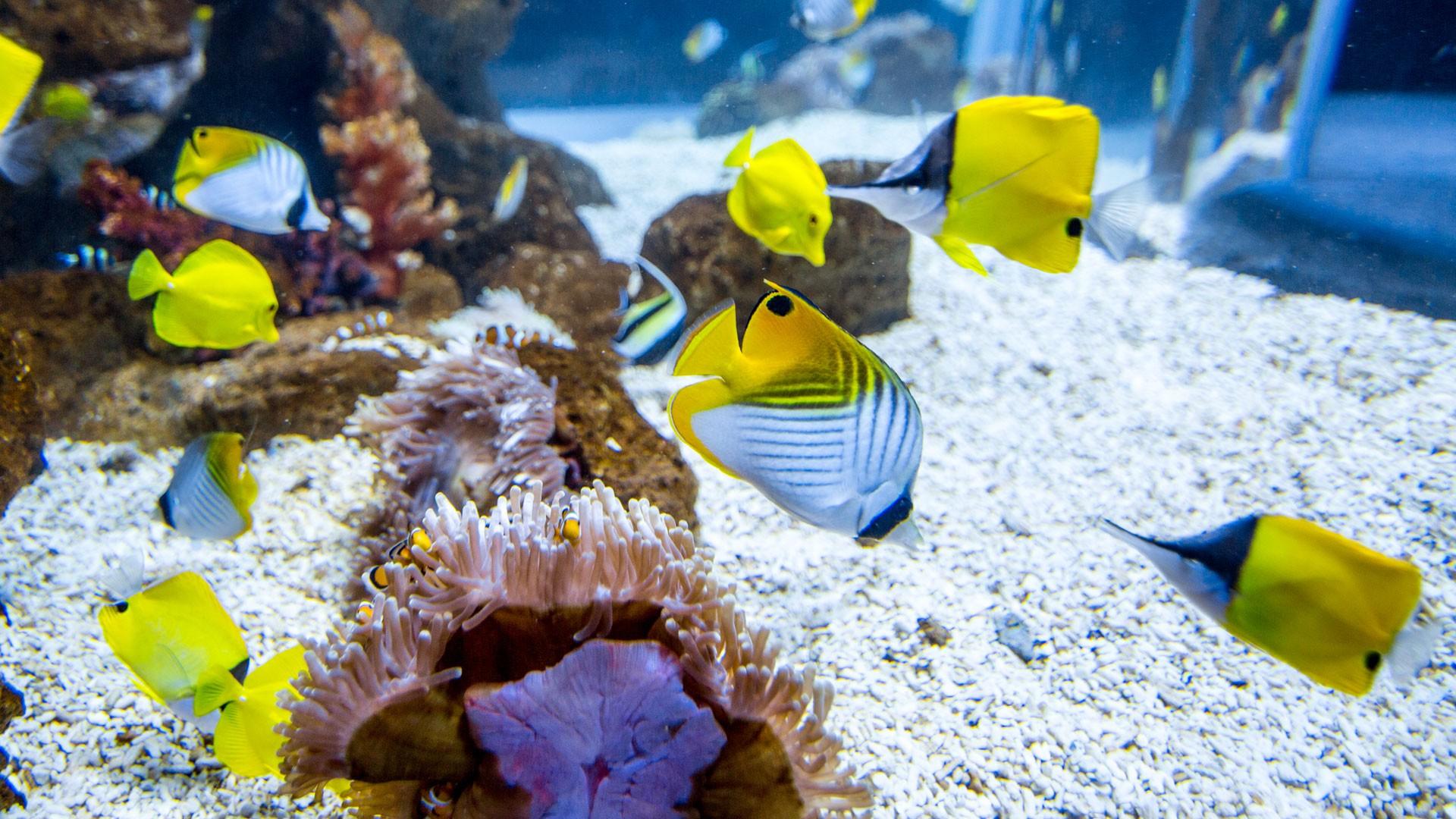 Spotfin Butterflyfish
